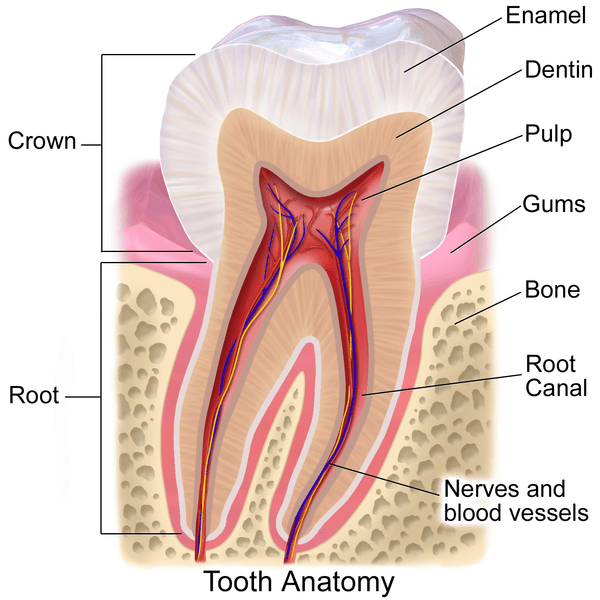 What Are Teeth Made Of Cancun Cosmetic Dentistry Answers